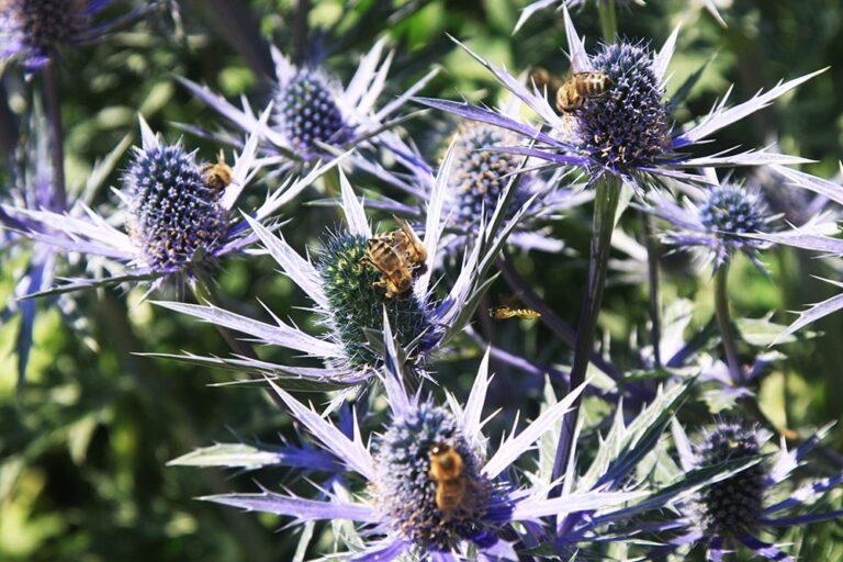 Bienen an Mannstreu