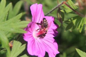 Biene auf Geranium