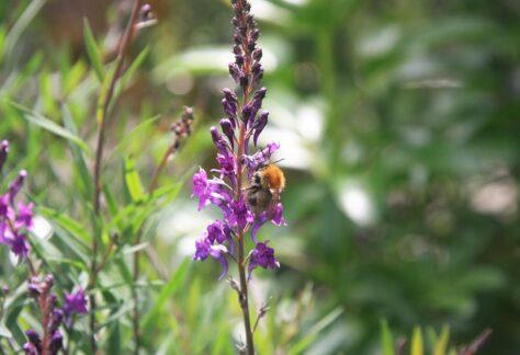 Biene am Leinkraut