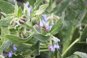 Biene an Beinwell