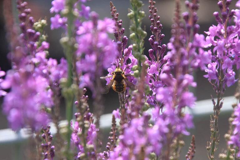 Biene auf Leinkraut