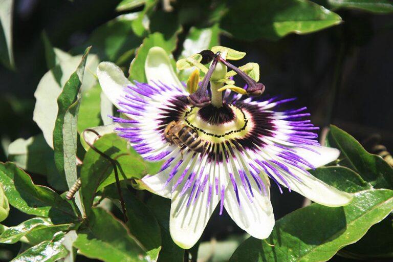 bienen auf Passionsblume