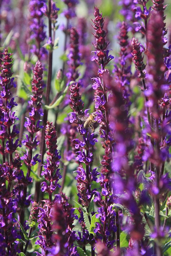 Biene Salbei Bienen