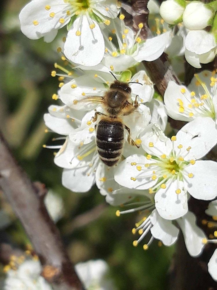 Read more about the article Infobrief der Bieneninstitute 2021-7