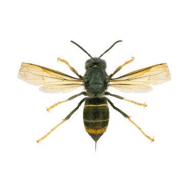 asia hornet