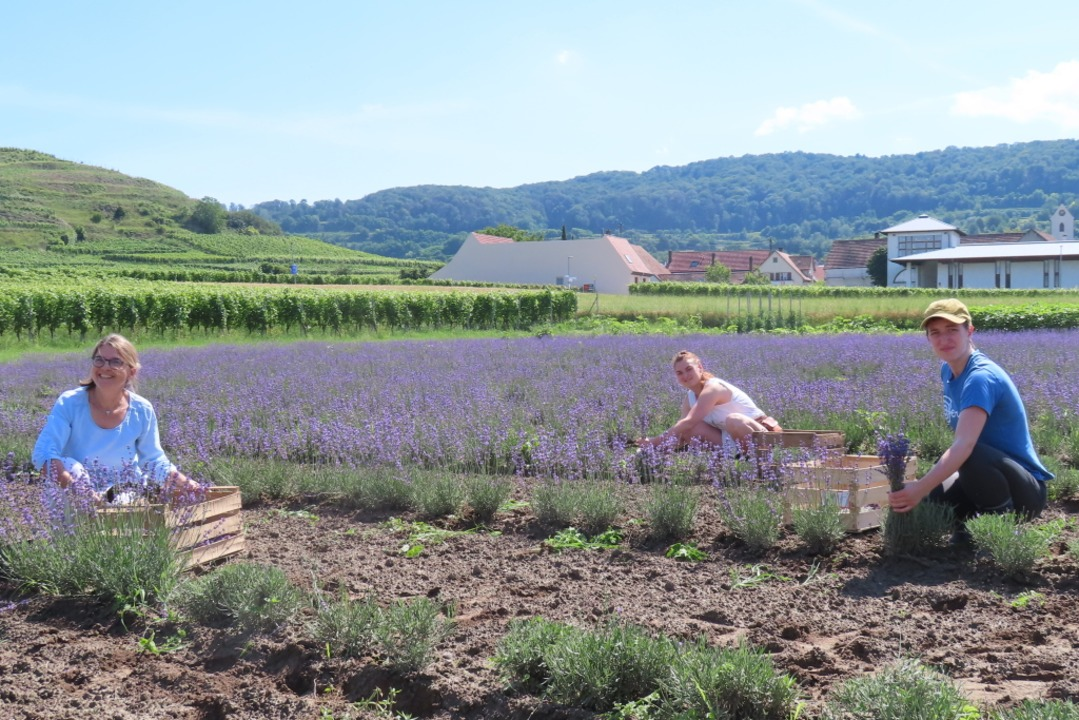 Read more about the article Am Kaiserstuhl wird jetzt auch Lavendel angebaut